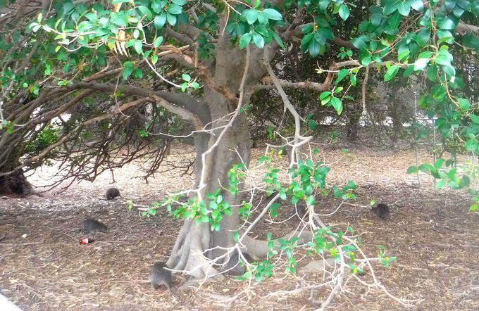 ロットネスト島での「クオッカ」の上手な探し方