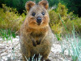 豪パース・ロットネスト島で幸せすぎる小動物「クオッカ」と戯れよう!