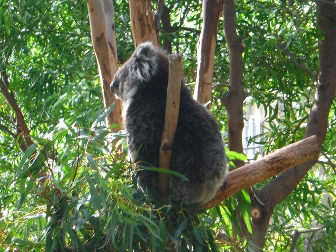 メルボルン動物園でオーストラリアらしい動物たちを見学