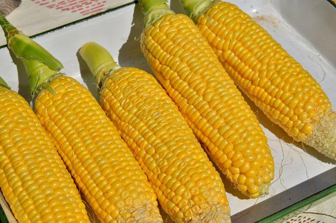 まるでフルーツ!? 糖度20度近いトウモロコシ「味来」の収穫&食体験