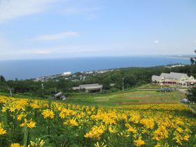 ゲレンデに213万輪!小樽「オーンズ春香山ゆり園」の絶景