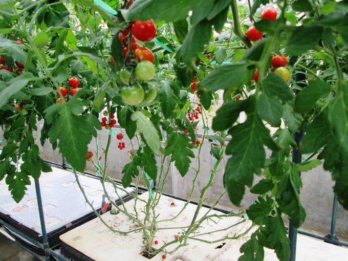 トマトの水耕栽培施設は見学も収穫体験も無料!