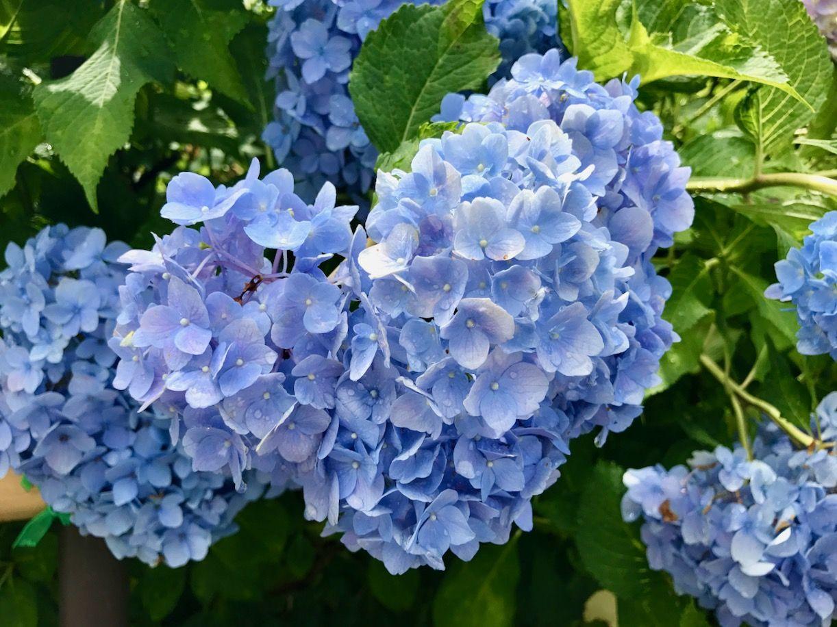 ハート形の紫陽花を見つけよう