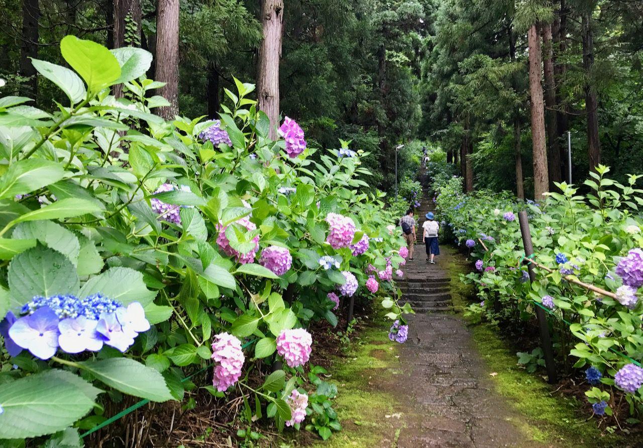 しっとり空気感漂う紫陽花参道