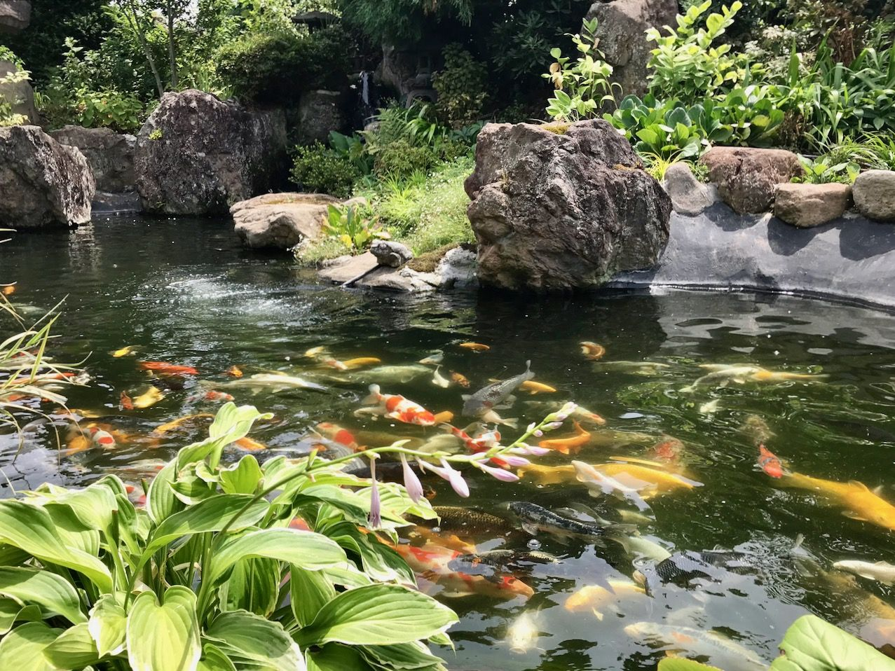 愛らしい日本庭園で優雅に泳ぐ錦鯉