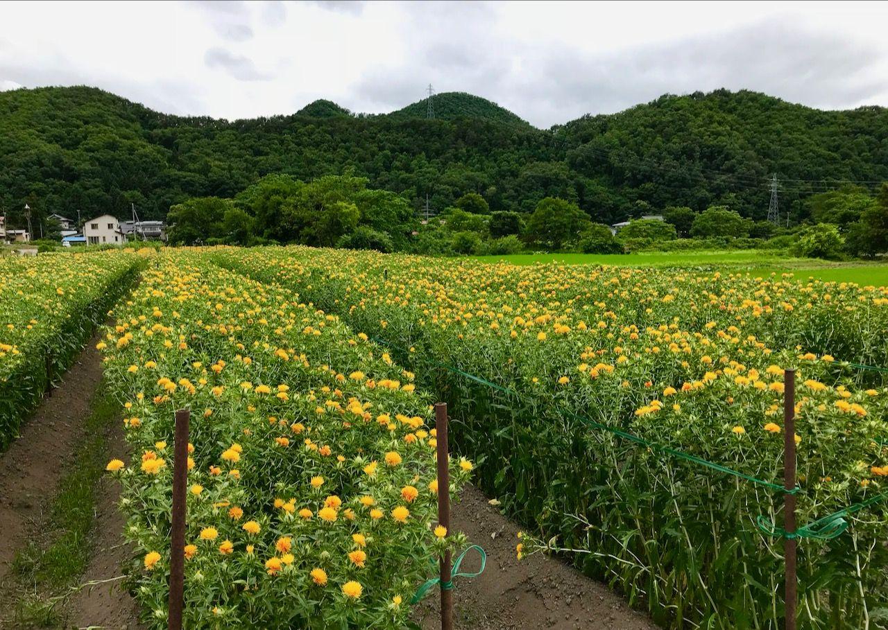 紅花の里高瀬で毎年7月に開催される「山形紅花まつり」