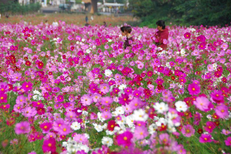 横須賀「くりはま花の国」で100万本のコスモスとメモリーをつくろう