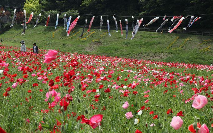 「くりはま花の国」春はポピー、秋はコスモス、冬はイルミネーション
