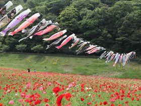 横須賀「くりはま花の国」春はポピーの絨毯&こいのぼり