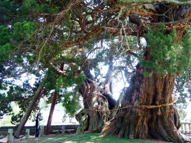 これが盆栽!?小豆島「宝生院のシンパク」写真には納まりきらない大迫力とパワー