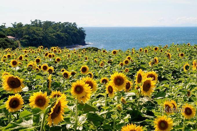 「長崎鼻」は120万本のひまわりが咲き誇る! 8月中旬過ぎが見頃