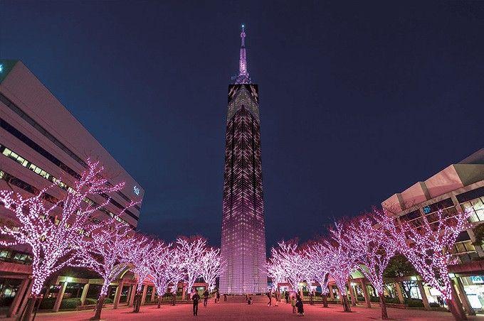 福岡タワー前の街路樹が桜一色に!