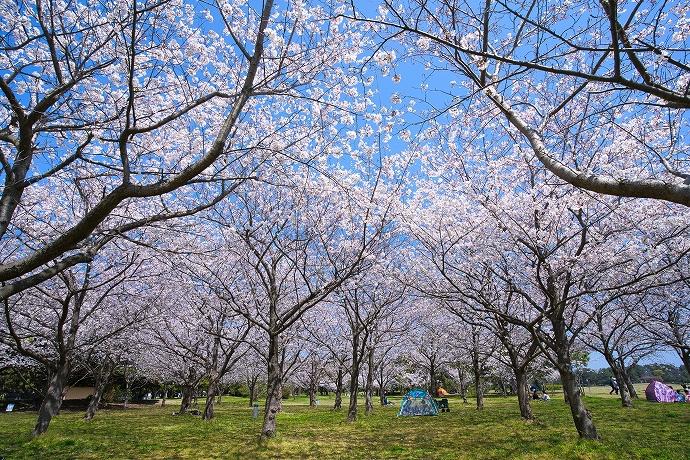 3月下旬から4月中旬は桜&チューリップ!