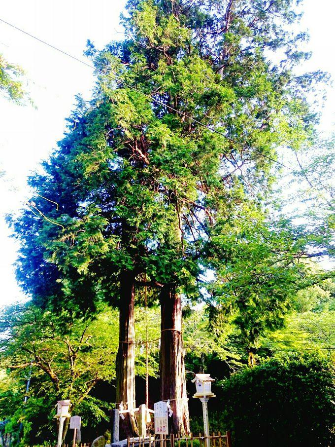 武雄神社もうひとつの御神木「夫婦杉」