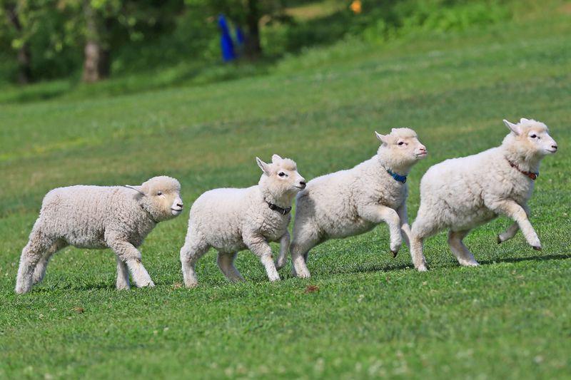 赤ちゃん羊に満開の菜の花!「マザー牧場」で春フェス開催中