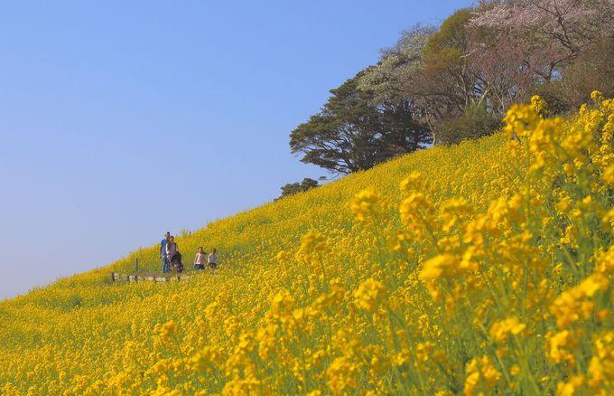 菜の花や味覚狩りで春を感じよう