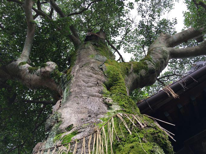 大きく枝を広げ葉を茂らせる「クロガネモチ」