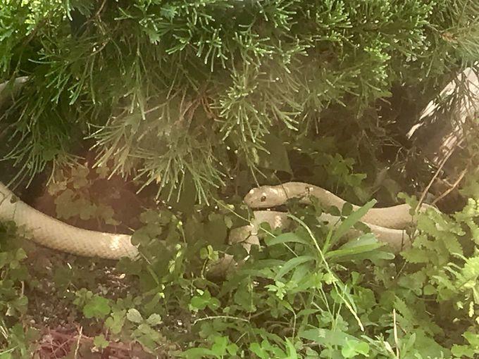 国指定天然記念物「岩国のシロヘビ」