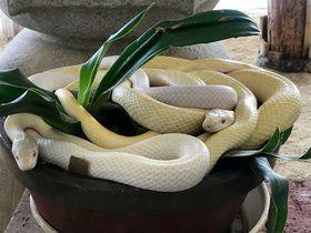 山口県岩国市「岩國白蛇神社」頭上にシロヘビを戴く弁財天に開運祈願