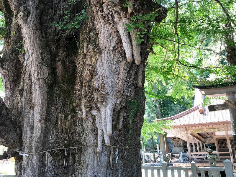 安産子宝祈願も!広島・安芸太田町「筒賀の大銀杏」は町のシンボル