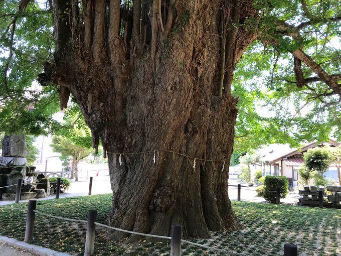 高さ約50m!樹齢1100年超えの「筒賀の大銀杏」