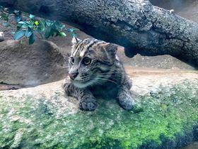 ネコ好き必見!「神戸どうぶつ王国」に世界の珍ネコちゃん大集結!