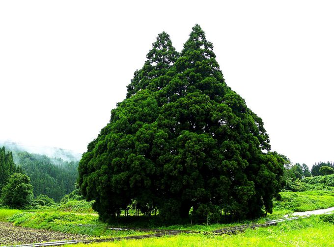 山形県鮭川村「小杉の大杉(トトロの木)」