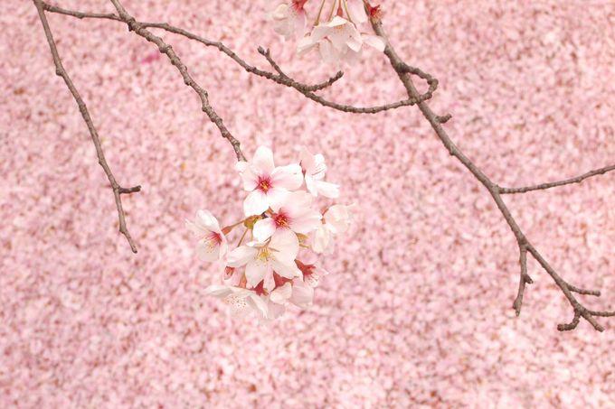 桜を眺めながらテクテクお散歩!哲学の道