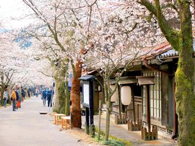 かつての宿場町が今や桜の名所!岡山・新庄村「がいせん桜」
