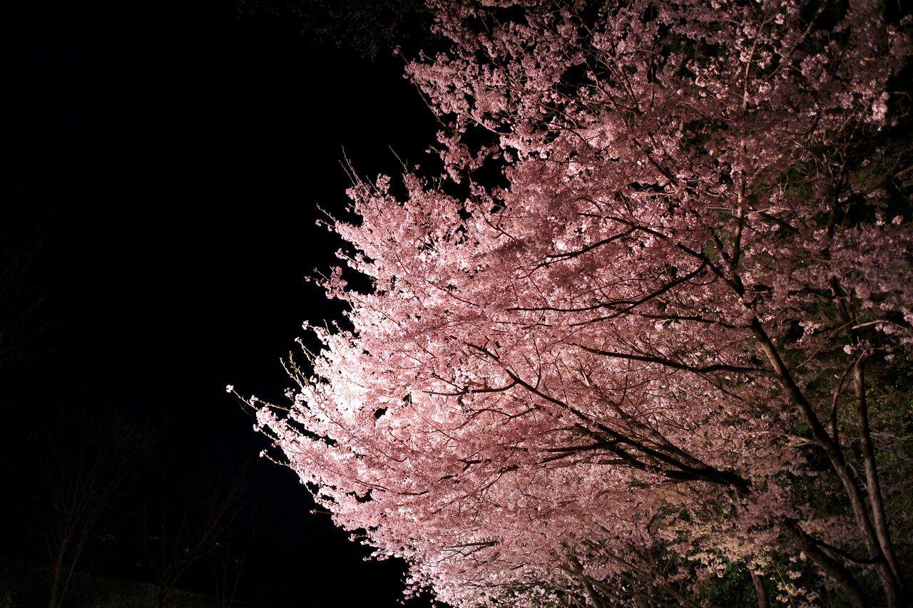 帰る直前に押さえておきたい桜スポット
