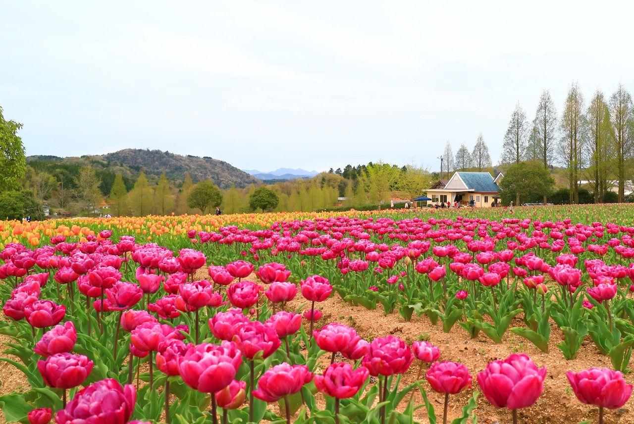 広島・世羅高原「チューリップ祭」はSNS映えするカラフルロケーション!