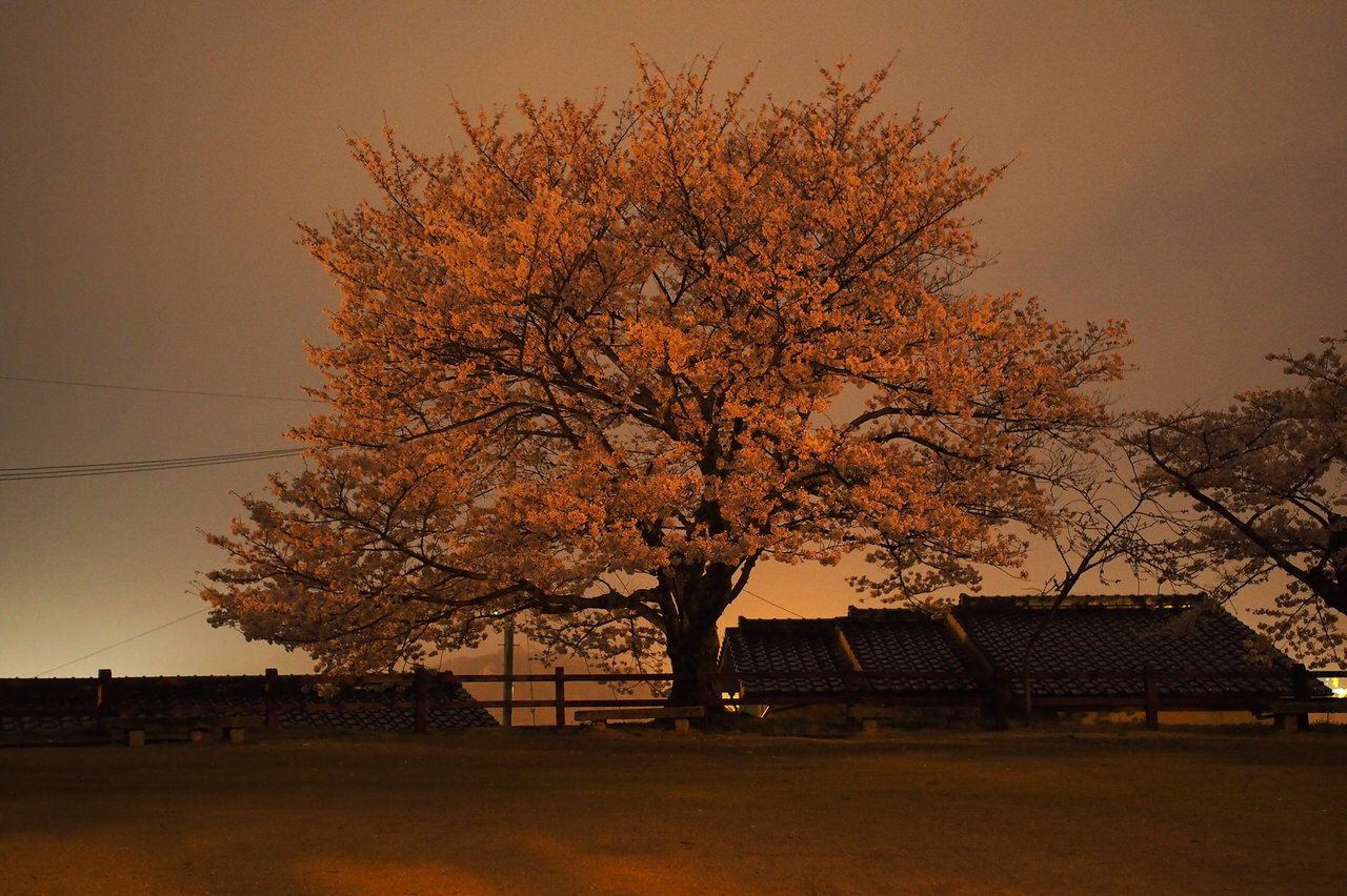 千光寺公園から下った先にもオススメ桜スポットが!