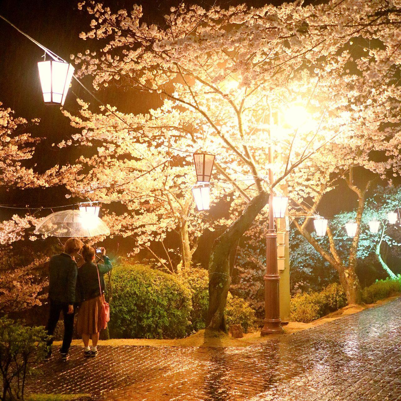 夜桜ライトアップも要チェック!