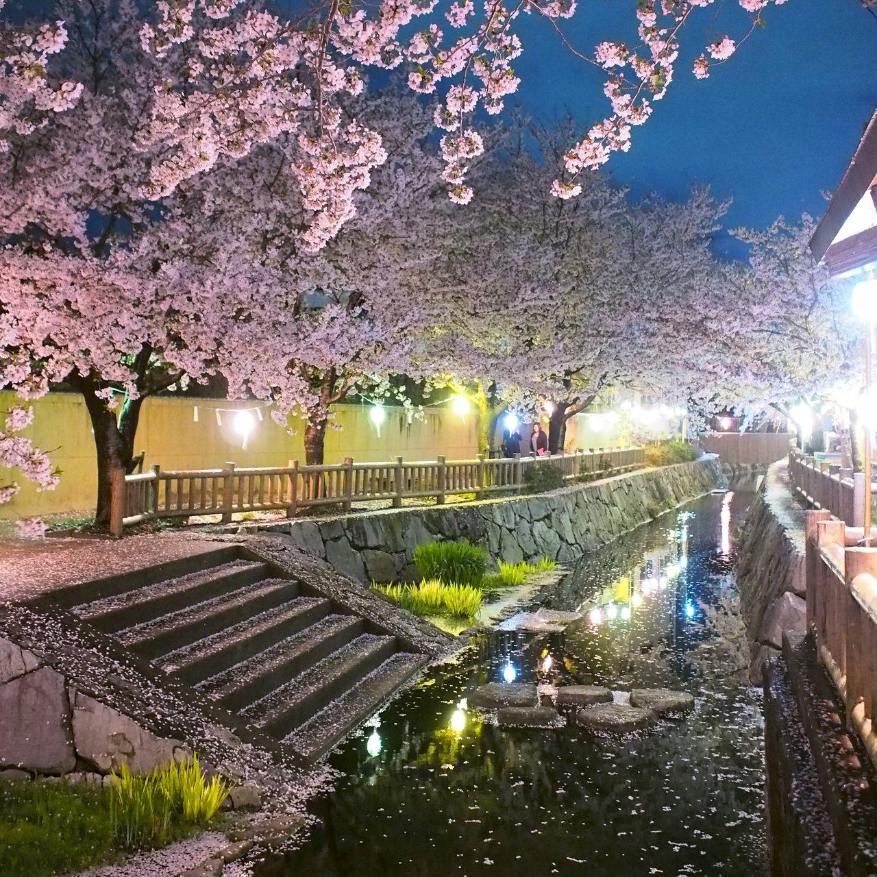 隠れ夜桜スポット!「鹿の井」の桜並木