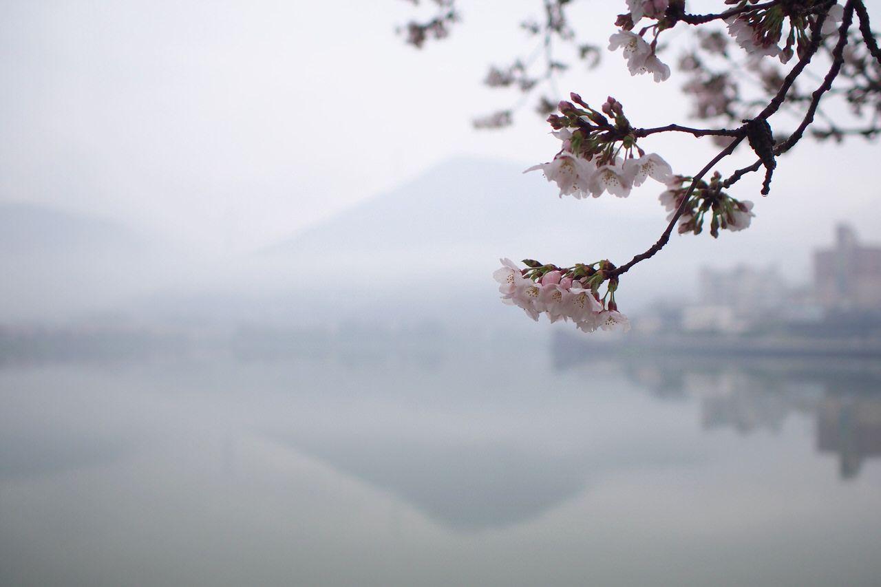 お散歩に最適!「鎌田池」の桜並木