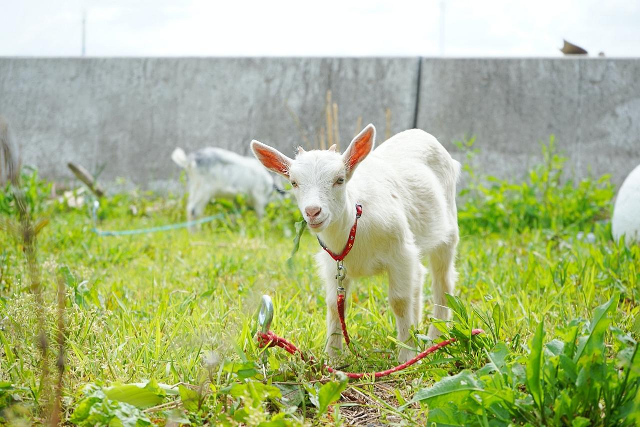 志々島の休憩処「くすくす」と可愛いヤギ