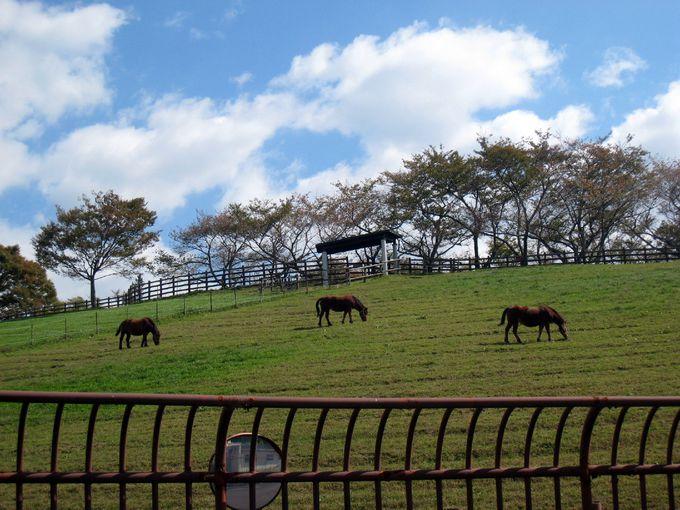 珍しい日本在来種・木曽馬