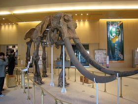 日本初で日本最大!ミエゾウ復元骨格が津市「MieMu」に出現!