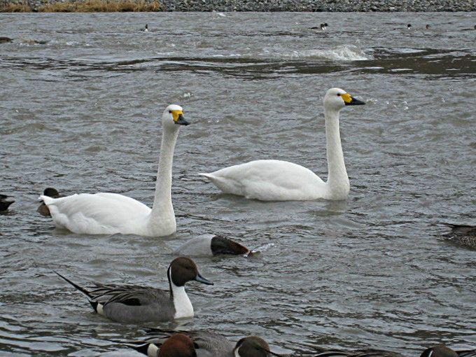 犀川周辺に白鳥スポットが2ヶ所も「安曇野」(長野)