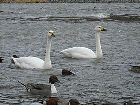 長野・安曇野の冬の風物詩!まるで空に描かれた白鳥の絵画