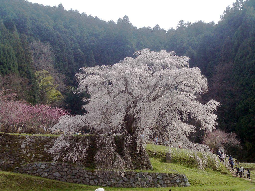 石垣の下まで垂れる枝