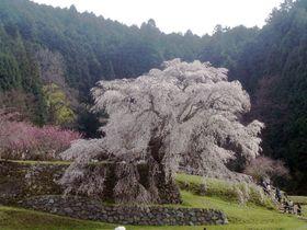樹齢300年!あの戦国武将も愛した奈良・宇陀「又兵衛桜」