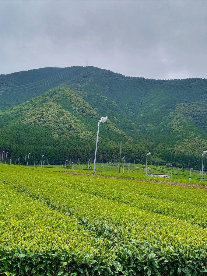 遙かに広がる茶畑