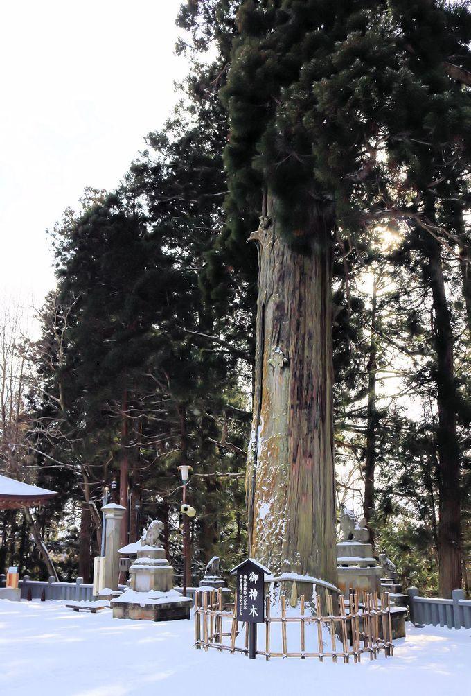 境内のご神木はなんと!樹齢700年!!そして3本杉は樹齢800年!!