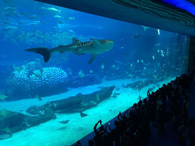"""圧倒される巨大水槽 """"Whale Shark Aquarium"""""""