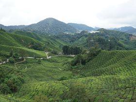 マレーシア最大の紅茶園!キャメロンハイランド「ボー・ティー」観光の秘伝