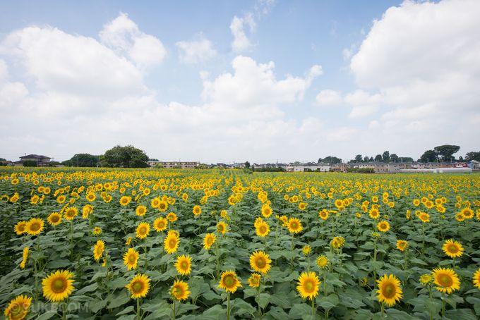24,000平方メートルの広大な農地に約10万本のひまわり