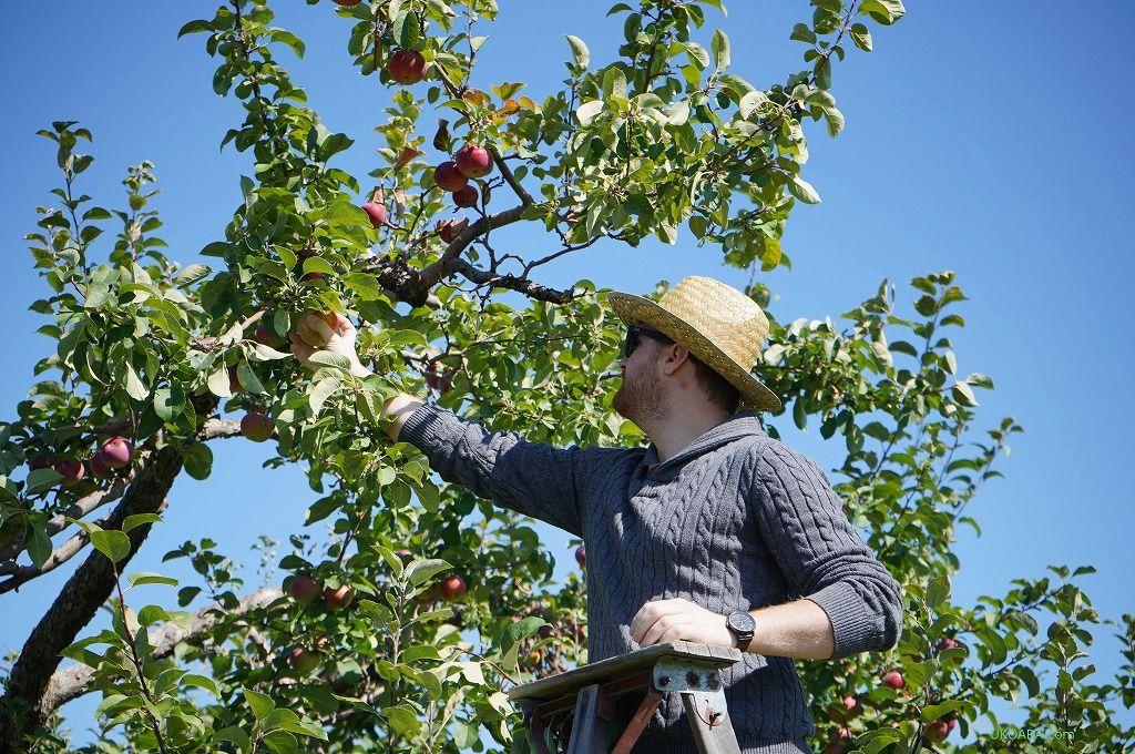 リンゴ狩りが楽しめるのは7月から10月末