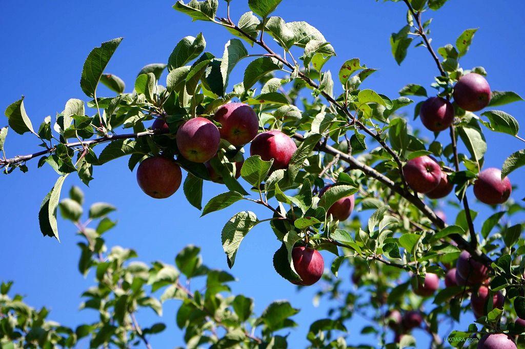 ケベック最初のリンゴ園「ラボンテ デ ラ ポム/Labonte de la pomme」