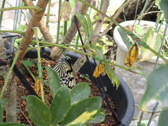黄金色に輝く神々しい蝶のさなぎが!